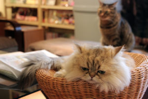 5 awesome cat cafes for the cat lovers