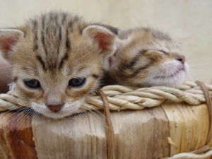 cats that remain kittens even in their adulthood