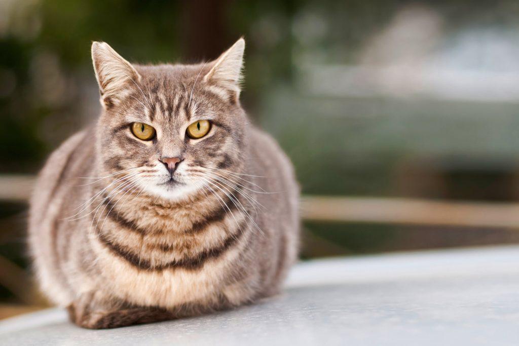 Amoxicillin Katze
