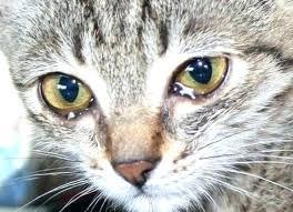 cat glassy eyes