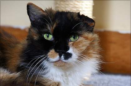 aural hematoma cat