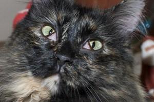 cherry eye cats