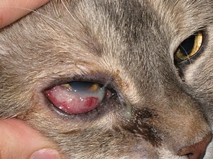 cat third eyelid showing no other symptoms