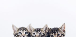 can cats have miscarriages