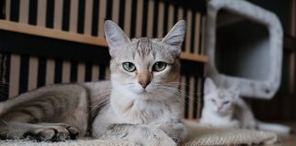 bad eyelid in cats