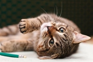 muscle contraction disease in cats