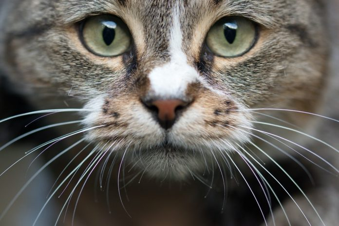 nasal polyps in cats